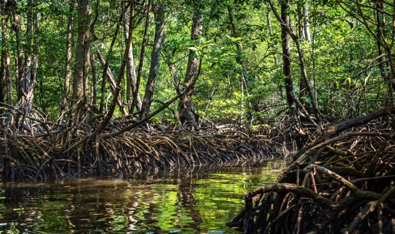 Mangroves of the Andaman and Nicobar Islands.