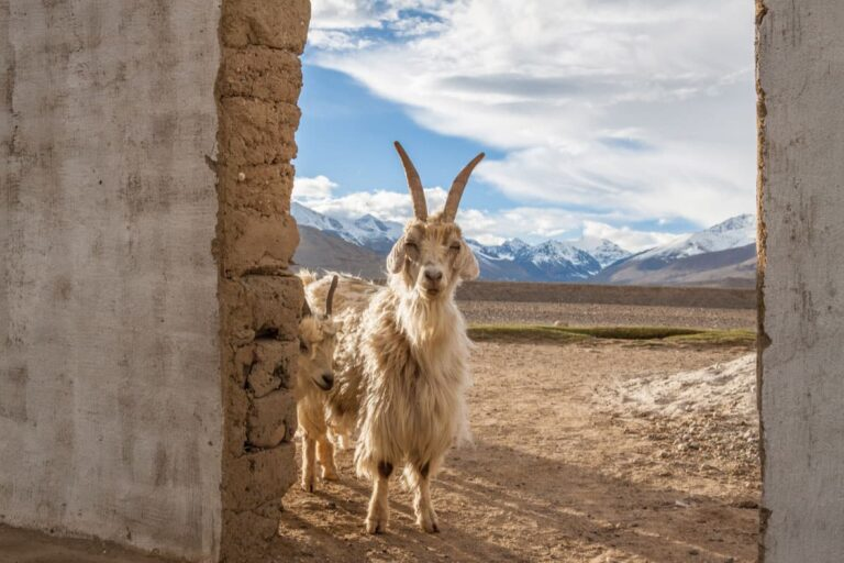 Goat outside of lodgings on the Pamir Highway.