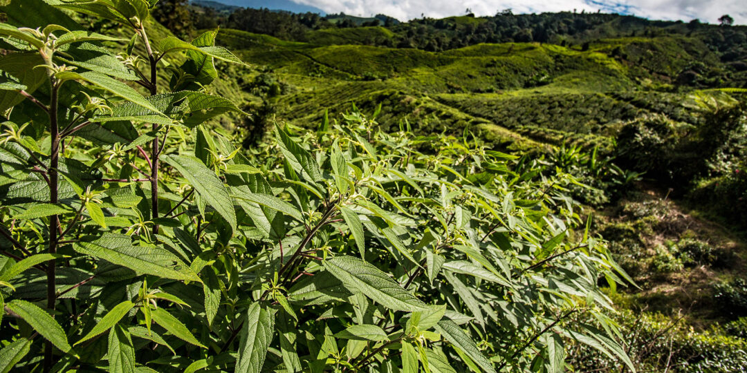 Cameron Highlands: Jungle Journey to the Best Cup of Tea in Malaysia