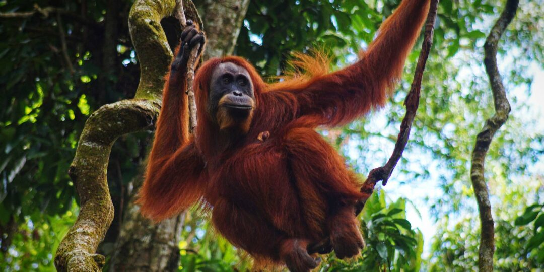 Saving the Great Apes Gunung Leuser